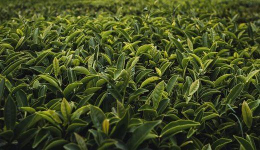 桑の葉茶の味はまずい?【長年飲み続けている筆者が解説】